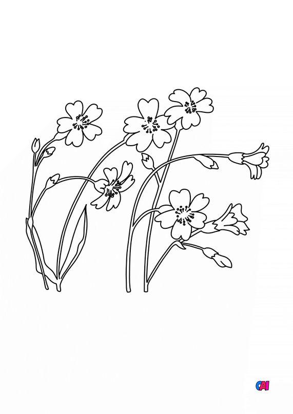Coloriage de fleurs - Céraiste