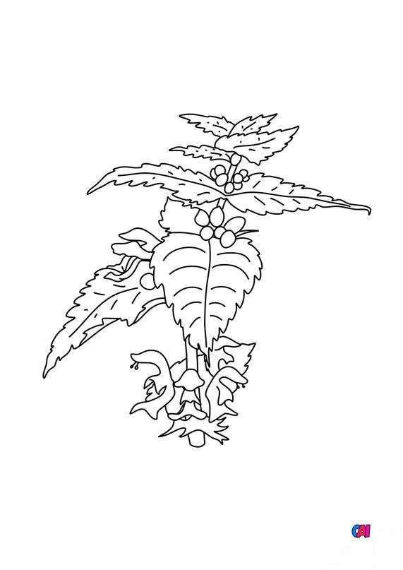 Coloriage de fleurs - L'ortie blanche