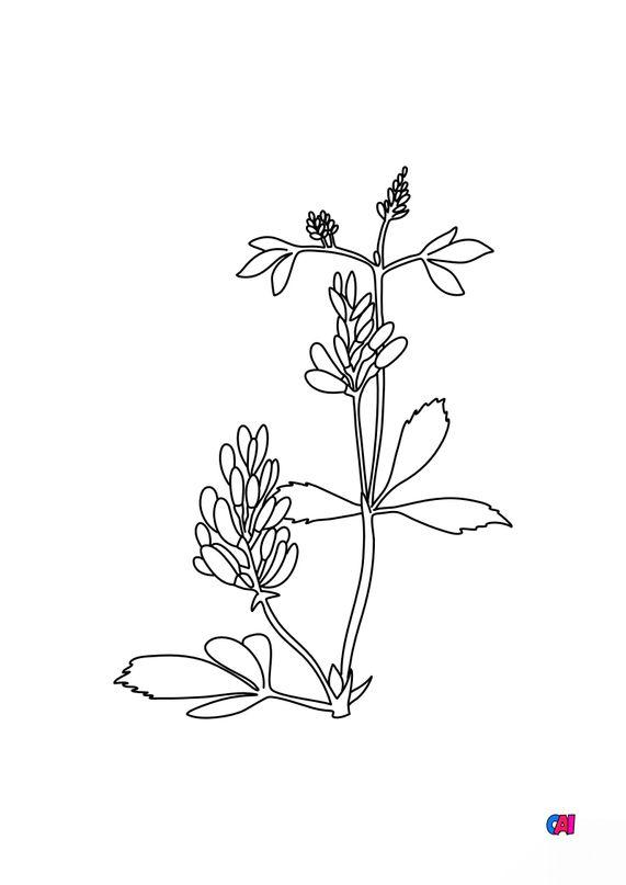 Coloriage de fleurs - Luzerne