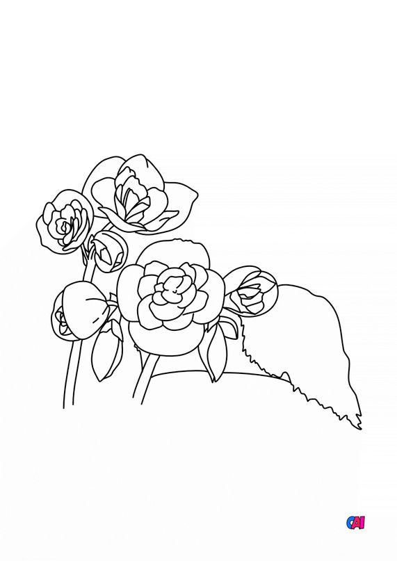 Coloriage de fleurs - Bégonia