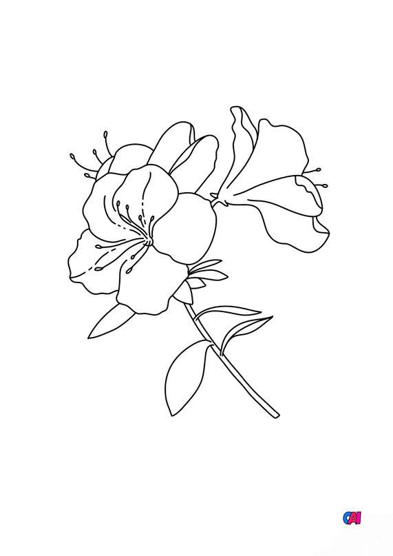 Coloriage de fleurs - Azalée