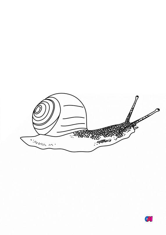 Coloriages d'animaux - Un escargot