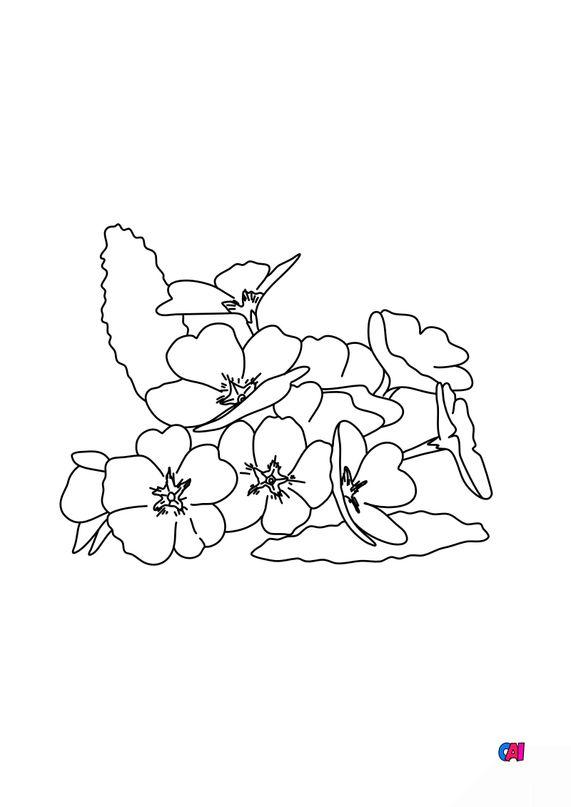 Coloriage de fleurs - Primevère