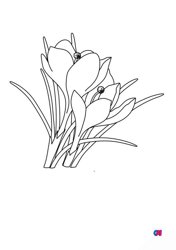 Coloriage de fleurs - Crocus