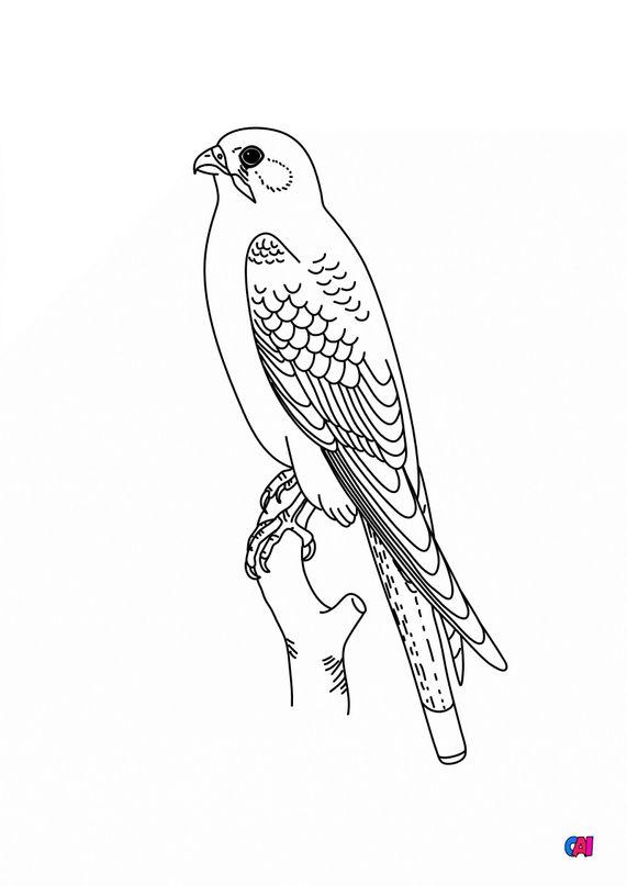 Coloriage d'oiseau - Faucon crécerelle