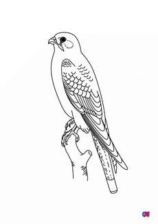 Coloriage Faucon crécerelle