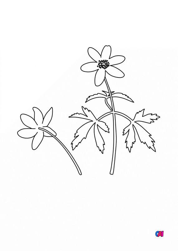 Coloriage de fleurs - Anémone Sylvie