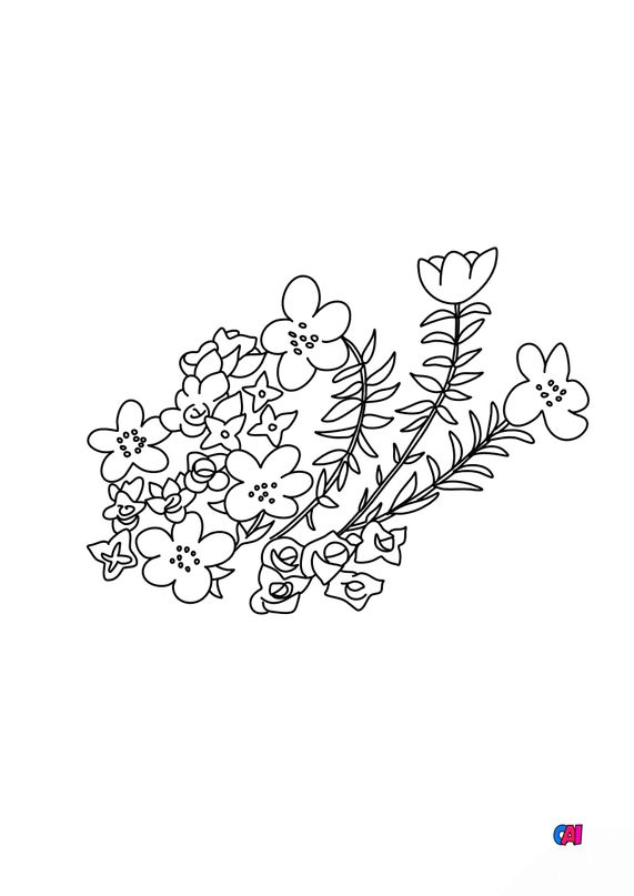 Coloriage de fleurs - Saxifrage