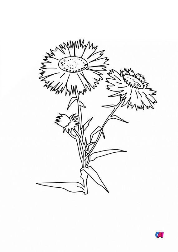 Coloriage de fleurs - Aster