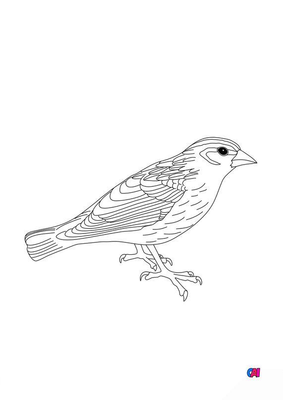 Coloriage d'oiseau - Moineau soulcie