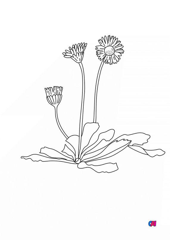 Coloriage de fleurs - Pâquerettes