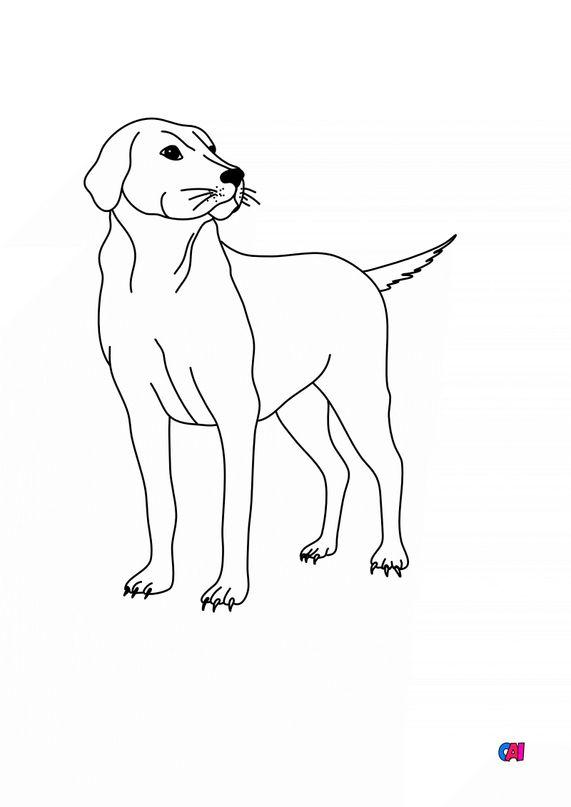 Coloriages d'animaux - Labrador