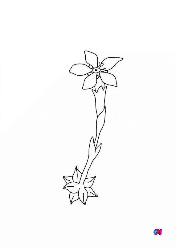 Coloriage de fleurs - Gentiane