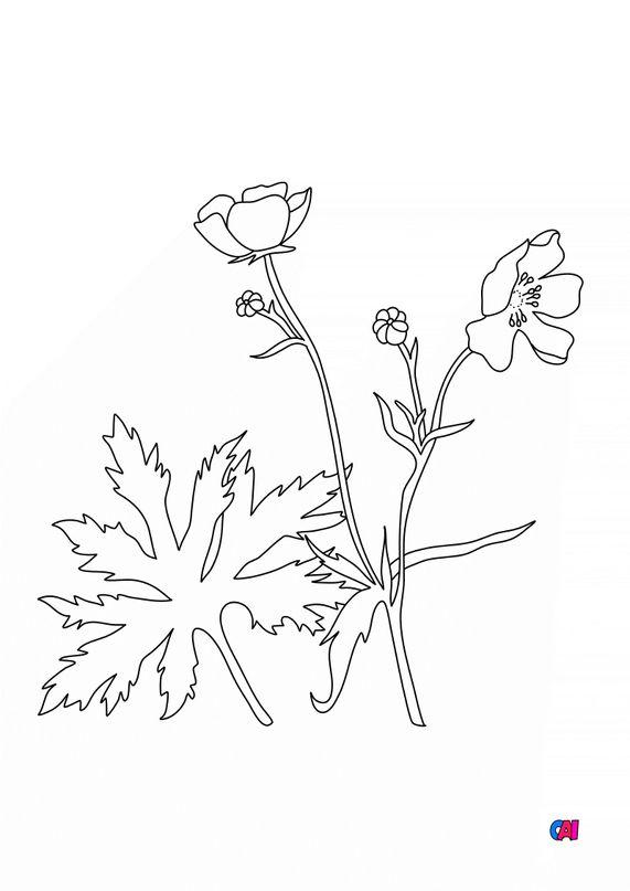 Coloriage de fleurs - Bouton d'or