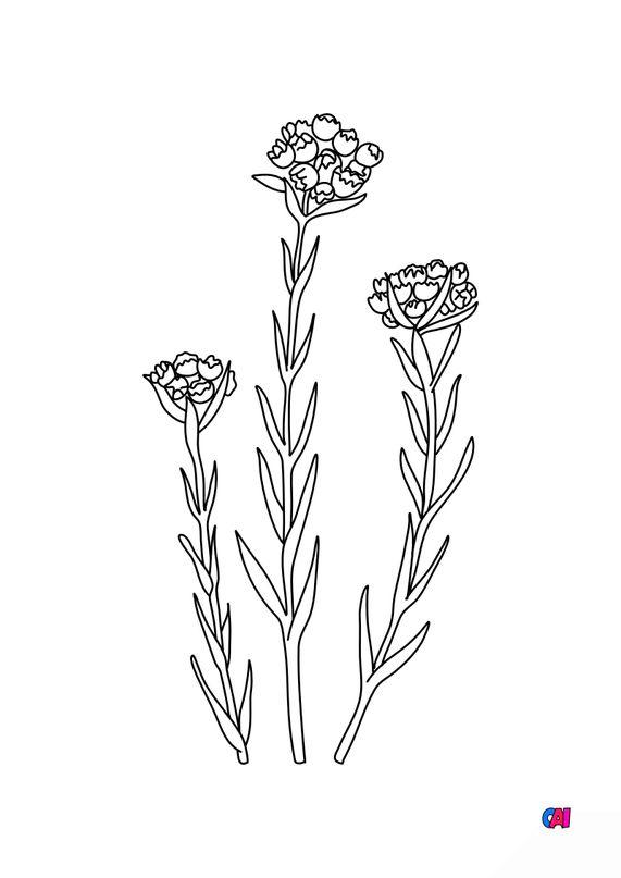Coloriage de fleurs - Immortelles