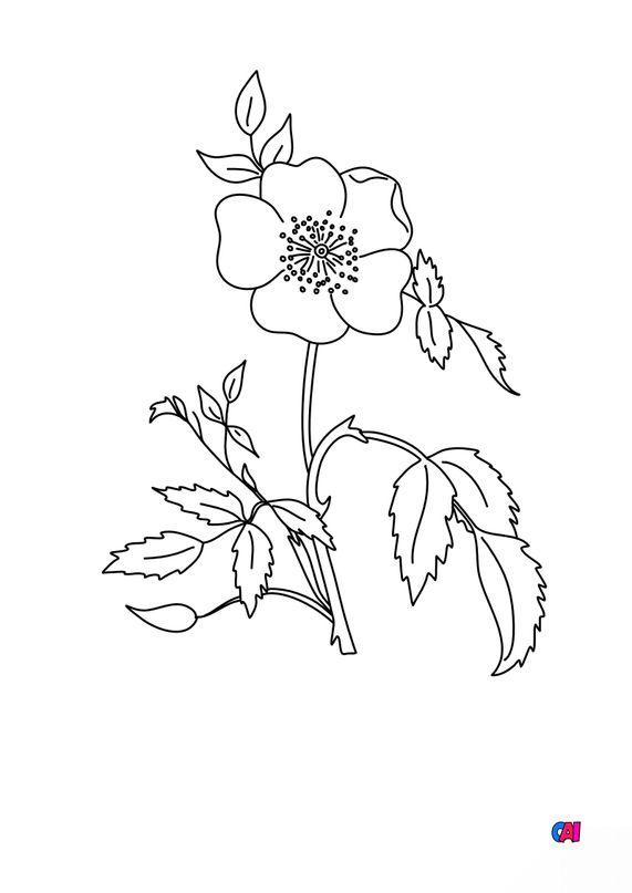 Coloriage de fleurs - Eglantine